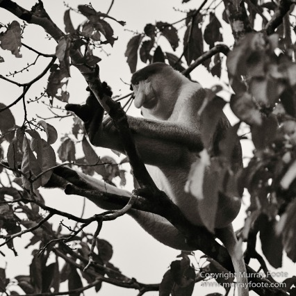 Black and White, Butterfly, Hornbill, Infrared, Landscape, Monochrome, Nature, Orang Utan, Photography, Pig Tailed Macaques, Proboscis Monkey, Sabah, Street photography, Tarsier, Wilderness, Wildlife