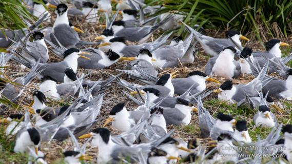 Australia, Crested Terns, Humpback whale, Landscape, Lighthouses, Montague Island, Nature, Photography, Sea Eagle, Seal, seascape, Travel, Wilderness, Wildlife