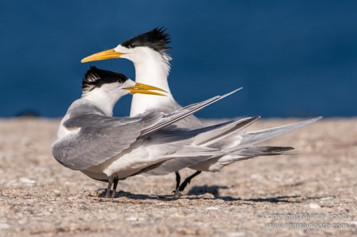 Australia, Crested Terns, Landscape, Lighthouses, Little Penguins, Macro, Montague Island, Nature, Photography, Sea Eagle, Seal, seascape, Travel, Wilderness, Wildlife