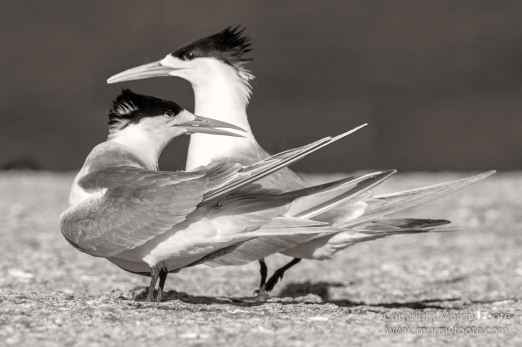 Australia, Crested Terns, Landscape, Lighthouses, Macro, Montague Island, Nature, Photography, seascape, Travel, Whales, Wilderness, Wildlife