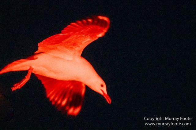Australia, Crested Terns, Landscape, Lighthouses, Little Penguins, Macro, Montague Island, Nature, Photography, Sea Eagle, Seal, seascape, Travel, Wilderness, Wildlife