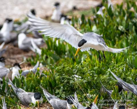 Australia, Crested Terns, Landscape, Lighthouses, Macro, Montague Island, Nature, Photography, seascape, Silver gull, Travel, Wilderness, Wildlife