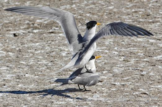 Australia, Crested Terns, Landscape, Lighthouses, Montague Island, Nature, Photography, seascape, Travel, Welcome swallow, Wilderness, Wildlife