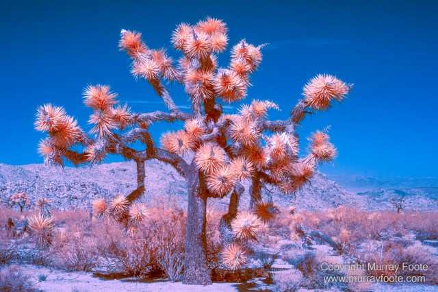 Cholla, Cottonwood Spring, Desert, Hidden Valley, Infrared, Joshua Tree National Park, Jumbo Rocks, Landscape, Nature, Photography, Travel, Wilderness