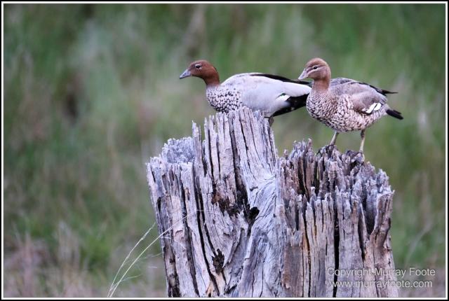 Australia, Australian Wood Ducks, Birds, Canberra, Cockatoo, Cunningham's Skink, Eastern Rosellas, Galahs, Kangaroos, Kookaburras, Little Corella, Magpie, Nature, Photography, Travel, Wildlife